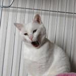 ありがとう、白猫チロチョウ