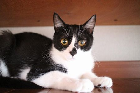 黒白猫のサク