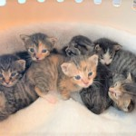 ふくちゃんの産んだ8匹の子猫たち(8baby)